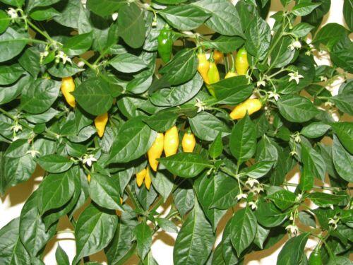 Limón zitronengelbe Chili fruchtig /& scharf absoluter Massenträger Limon