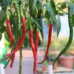 Joe-039-s-long-Cayenne-die-laengste-Chili-der-Welt-Joes-long-Chilli