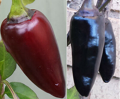 Chilli Doux Long d/' Antibes A Rare French Heirloom Chilli Pepper 10 Seeds