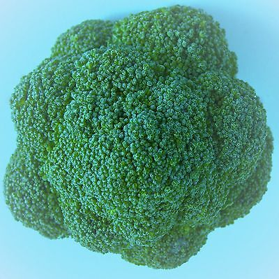 CALABRESE - GREEN MAGIC  [F1] - 10 Seeds [..and the finest quality side shoots]