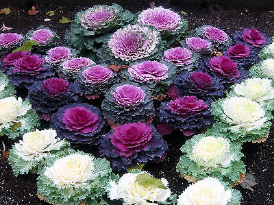 FLOWER CABBAGE ORNAMENTAL MIX 170 SEEDS