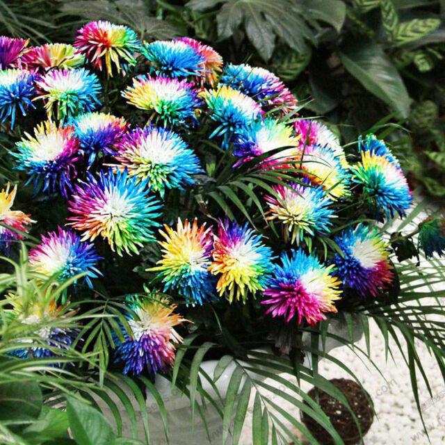 100 Rainbow Chrysanthemum Flower Seeds rare Special Unique unusual Colorful yq