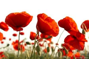 100 pcs red poppy flower seeds iceland poppy seed beautiful flower image is loading 100 pcs red poppy flower seeds iceland poppy mightylinksfo