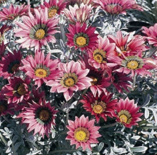 30+ TALENT RED SHADES GAZANIA FLOWER SEEDS / DROUGHT-TOLERANT GROUND COVER