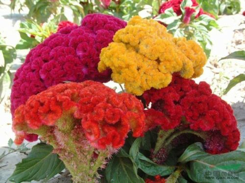 Celosia Cockscomb Colored Mix Flower Seeds// Reseeding Annual Free shipping 100