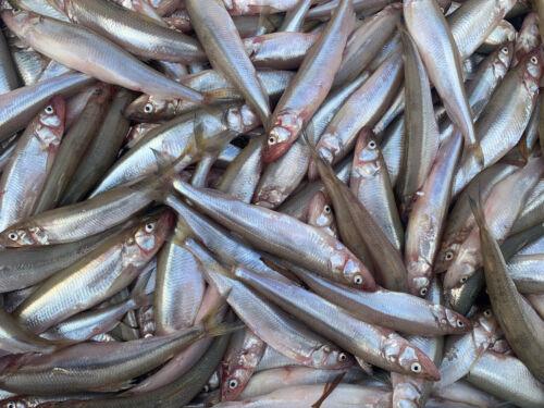 Köderfische Stinte 25 Stück