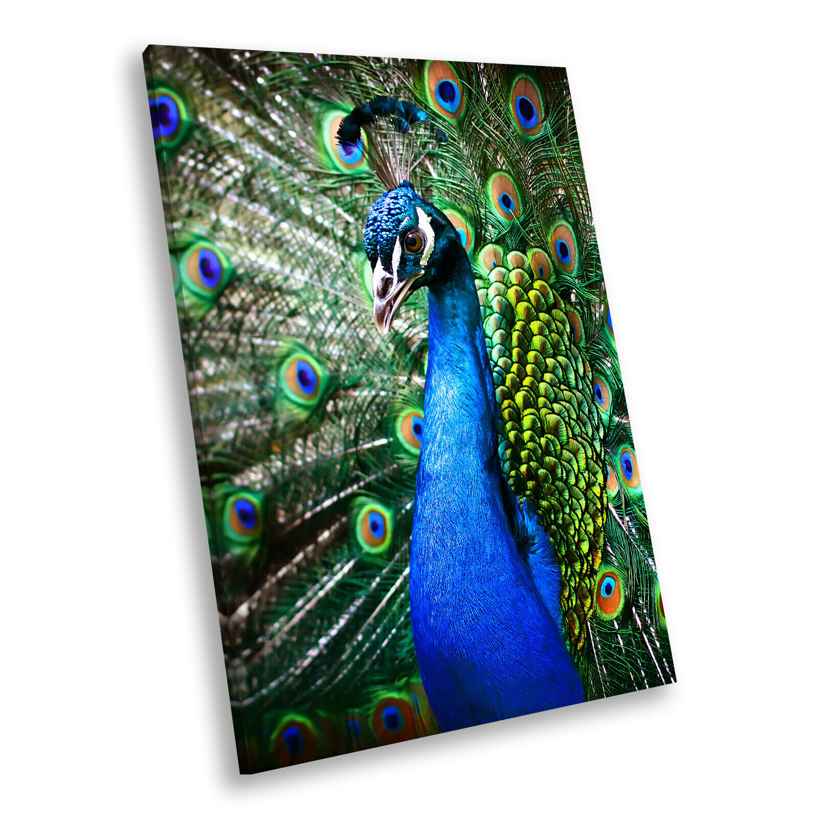 Blau Peacock Feathers  Portrait Animal Canvas Framed Art Large Picture
