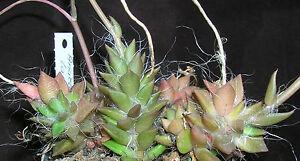 Anacampseros-lanceolata-15-Korn-erntefrischer-Samen-aus-2016