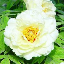 White Peony 20 Seeds Chinese Peony Seeds Beautiful Garden Flower Blooming