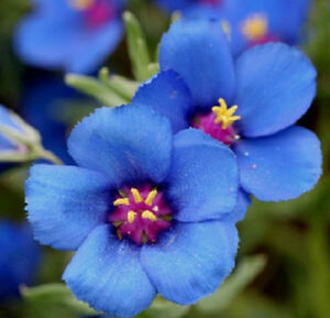 500-Pimpernel-Blue-Seeds-Anagallis-Arvenis-Caerulea-034-Weather-Flower-034