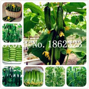 100-Pcs-Graines-Mini-Concombre-Bonsai-delicieux-fruits-legumes-plantes-jardin-NOUVEAU-Z