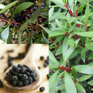 NATIVE-MOUNTAIN-PEPPER-Tasmannia-lanceolata-SEEDS-039-Bush-Tucker-Plant-039