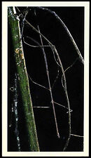 Stick Insect #13 Disappearing Rain Forest Card (C279)