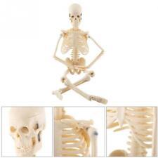 Life Size Human Anatomy Skeleton Model For Medicineprofessorsstudents