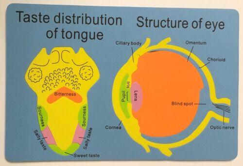 EVA FOAM HUMAN BODY LEARNING PUZZLE DIGESTIVE SYSTEM EAR HEART EYE /& SKULL 8mm