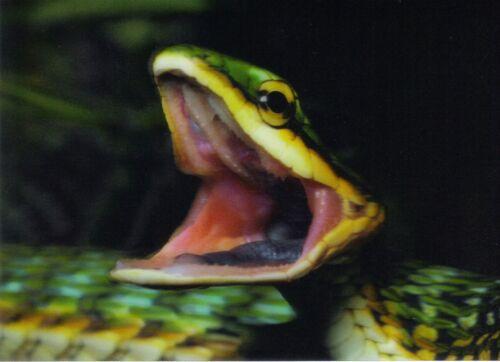 3 Schlanknatter D Ansichtskarte Green Parrot Snake
