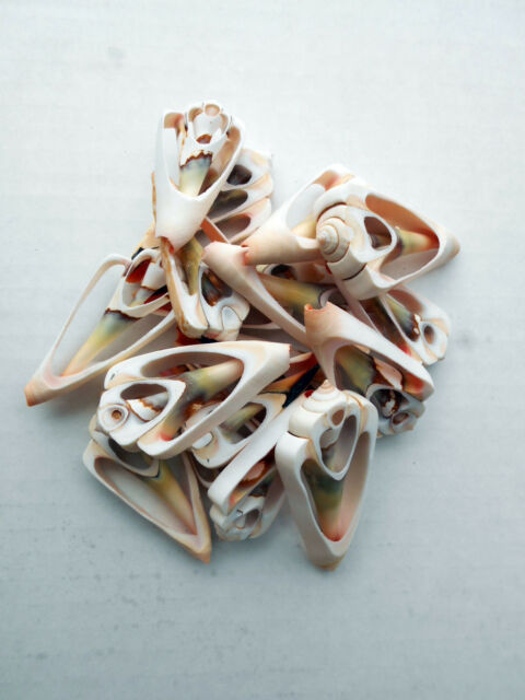 24 Center Cut Strawberry Strombus Shells Craft 1 1/2