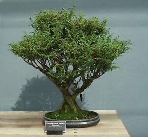Bonsai-Samen-i-SILBER-ZYPRESSE-i-winterharter-frostharter-Garten-Baum-exotisch