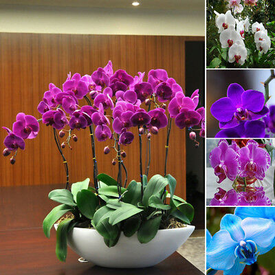 20PCS PHALAENOPSIS BUTTERFLY ORCHID SEEDS HOME GARDEN YARD BONSAI DECOR NICE
