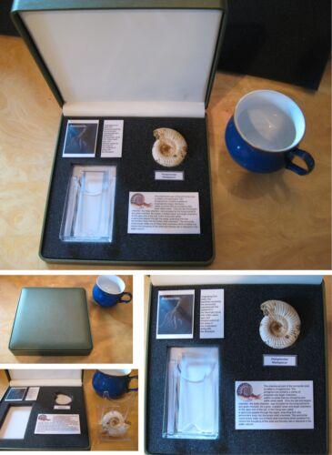 premium perisphinctes ammonite fossil set in collectors box great dinosaur gift