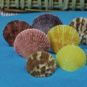 Lot-of-20-Multi-colors-Scallop-Fan-Shells-Seashells-Fish-Tank-DIY-Crafts-Decor