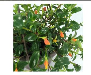 30-seeds-Nematanthus-glabra-Nematanthus-strigillosus-Goldfish-Plant