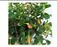 30-seeds-Nematanthus-glabra-Nematanthus-strigillosus-Goldfish-Plant thumbnail 1