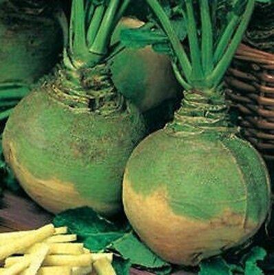 Medium Early Seeds Vegetables Organic from Ukraine 2 Grams Swede Vilgelmsburgskaya