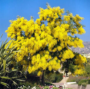 Silver Wattle Acacia Dealbata 30 Seeds Ebay