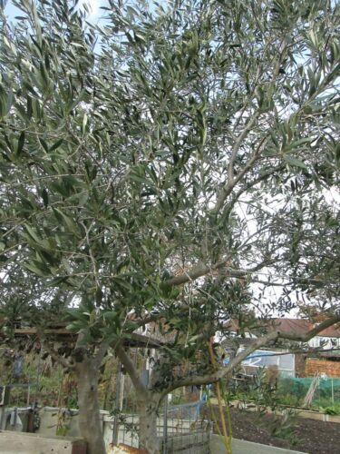 OLEA EUROPAEA 10 GREEK OLIVE TREE SEEDS