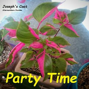 Party-Time-Alternanthera-ficoidea-COLORFUL-EYE-CANDY-Live-Potted-Starter-Plant