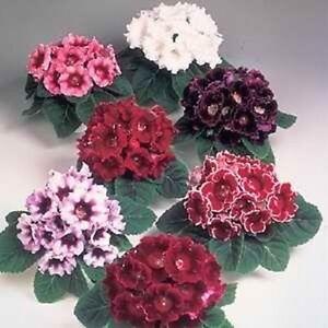 Gloxinia-Seeds-Avanti-Mix-FLOWER-SEEDS-25-Pelleted-Seeds