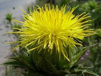 Free Gift Blessed Thistle Herb Powder Non-gmo Bulk-1,2,3,5 Lbs-poland