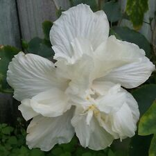 "2 DOUBLE WHITE HIBISCUS WELL ROOTED LIVE STARTER PLANT 3"" TO 5"" TALL"
