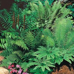 2-Live-LG-Root-Balls-Woodland-Fern-Low-light-Wet-Soil-Grows-Huge-All-Organic