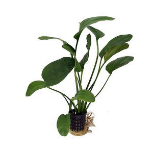Brillant 6 X 5 Cm Pots D'echinodorus Impaii-afficher Le Titre D'origine