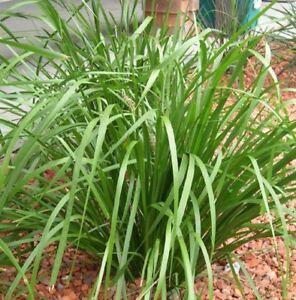 KATRINUS-DELUXE-Lomandra-longifolia-native-hardy-grass-plant-in-120mm-pot