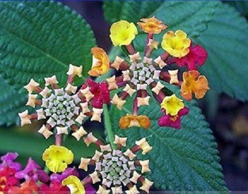 10 seeds Lantana Camara Perennial Big Wild Sage Flower Seeds,Shrubby Tickberry