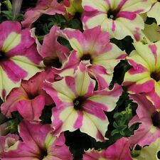 SOPHISTICA Lime BiColor  PETUNIA ~ 15 Pelleted SEEDS