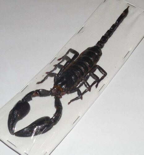 """LARGE OVER 6/"""" HETEROMETRUS LAOTICUS GIANT SCORPION REAL INSECT TAXIDERMY"""