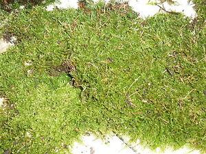 Moos-Lebermoos-Blepharostoma-trichophyllum