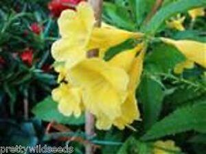 Yellow trumpetbush tecoma stans yellow bells shrub tree 50 seeds ebay image is loading yellow trumpetbush tecoma stans yellow bells shrub tree mightylinksfo