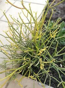 EUPHORBIA-TIRUCALLI-3-x-Esquejes-Cuttings-Planta-suculenta-Succulent-plant