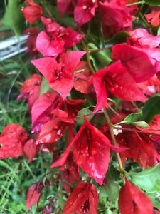 Bougainvillea-Flame-Red-Pint-Plant