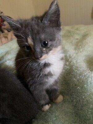 Kittens Sale In Kippa Ring 4021 Qld Cats Kittens Gumtree Australia Free Local Classifieds