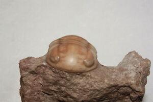 Russian-trilobite-Nileus-armadillo-fossil-Russia