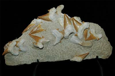 Shark Tooth Fossil Specimen In Matrix Otodus Obliquus Fossil Morocco W//Stand.