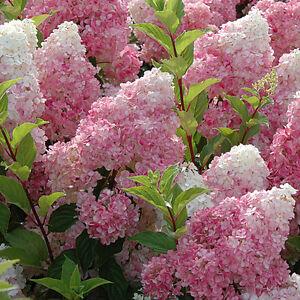 Hydrangea paniculata Sundae Fraise in 9cm pot dwarf form of ...