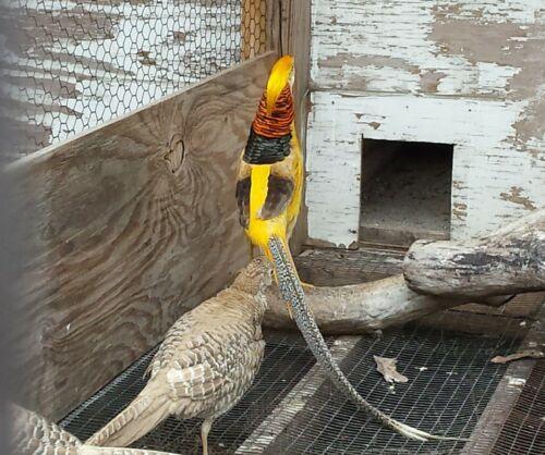 Shipping NOW NPIP 5 Yellow Golden Pheasant Hatching Eggs