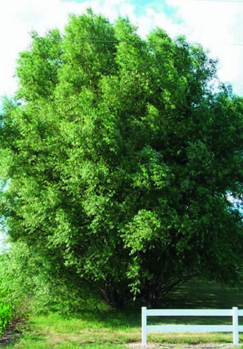 Fastest Growing Tree in the World 100 Hybrid Aussie Willow Tree Cuttings